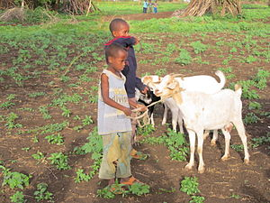 Food security - Goats are an important part of the solution to global food security because they are fairly low-maintenance and easy to raise and farm.