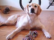 "The image ""http://upload.wikimedia.org/wikipedia/commons/thumb/8/86/Golden_retriever_freundlicher_Ausdruck.jpg/180px-Golden_retriever_freundlicher_Ausdruck.jpg"" cannot be displayed, because it contains errors."