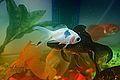 Goldfish (2957122375).jpg