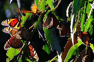 Goleta, California - Monarch butterflies on the Ellwood Mesa.