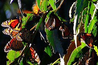 Goleta, California - Monarch butterflies on the Ellwood Mesa.