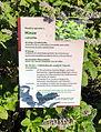 Grüne Minze (Mentha spicata) (02).jpg