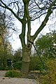 Grafted Fraxinus2.jpg