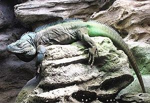 Blue iguana - Grand Cayman blue iguana