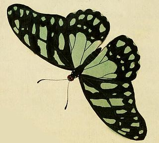 <i>Graphium leonidas</i> species of insect