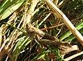 Grasshopper (29742626956).jpg