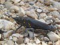 Grasshopper ST 10.jpg