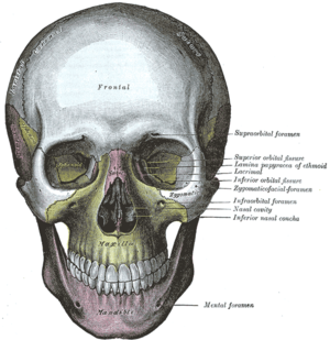 Infraorbital foramen - The skull from the front. (Infraorbital foramen labeled at center right, under the eye.)