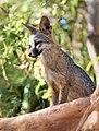 Gray Fox (42969487511).jpg