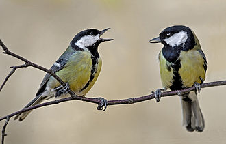Great tit - Two female great tits