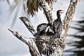 Great Cormorants are from PHALACROCORACIDAE Family 15.jpg