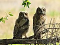 Great Horned Owls on Seedskadee National Wildlife Refuge (26899473674).jpg