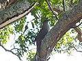 Great lizard cuckoo on South Andros Island (6771409907).jpg