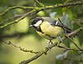 Great tit (36716357492).jpg