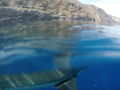 Great white shark at Isla Guadalupe. Shark cage diving.png