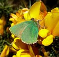 Green Hairstreak. - Flickr - gailhampshire.jpg