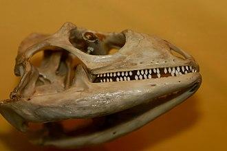 Iguana - Image: Green Iguana skull (Iguana iguana)