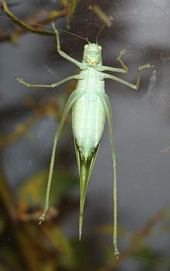 Green Leaf Katydid 789.jpg