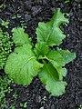 Green giant mustard plant.jpg