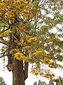 Grevillea robusta flowering 05.jpg