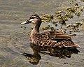 Grey Duck (8165135503).jpg