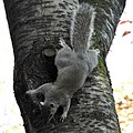 Grey squirrel (17242194596).jpg