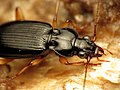 Ground Beetle (29251134391).jpg