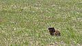 Groundhog (Marmota monax) - Guelph, Ontario.jpg
