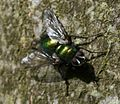 Gymnocheta viridis (Greenbottle Tachinid) - Flickr - S. Rae (2).jpg