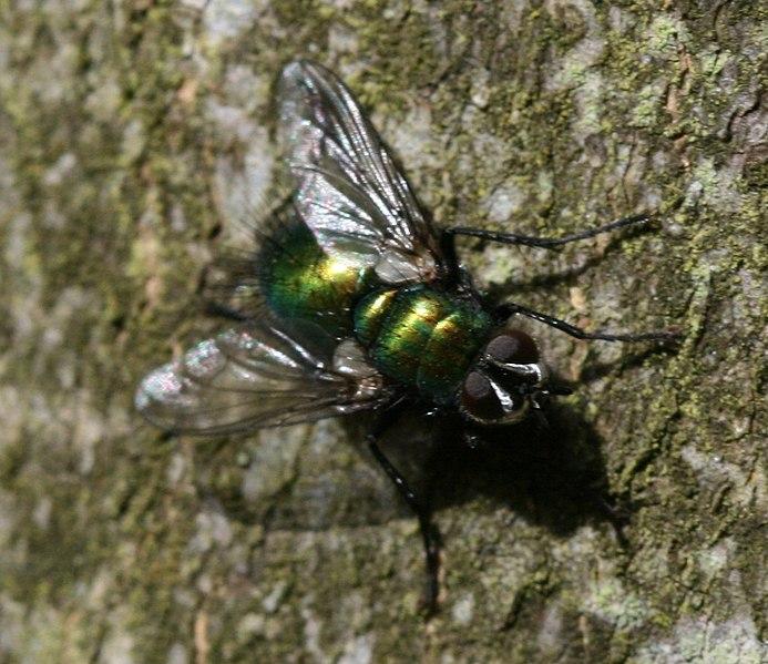 File:Gymnocheta viridis (Greenbottle Tachinid) - Flickr - S. Rae (2).jpg