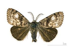 Erebidae - Gynaephora selenitica