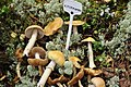 Gypsy Mushrooms Kitsemampel.jpg