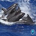 HIHWNMS melon-headed whales (49040303268).jpg