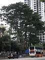 HK Causeway Road sidewalk Victoria Park 喬木 tall trees 01.JPG