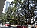 HK Sheung Wan Caine Road sidewalk Banyan trees Feb-2011.JPG