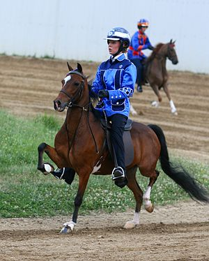 Hackney pony - An example of a road pony showing under saddle.