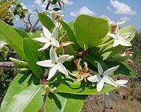 Hancornia speciosa (1)