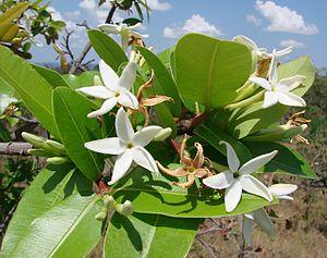 Hancornia - Hancornia speciosa