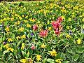 Heartleaf Arnica (yellow flower), Giant Red Indian Paintbrush (reddish flower), Oblongleaf Bluebells (blue flower) (14511767712).jpg