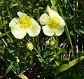 Helianthemum nummularium subsp obscurum 220608.jpg