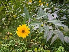 Helianthus tuberosus Parco fluviale alta Val d'Elsa 18.jpg