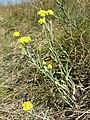 Helichrysum arenarium sl1.jpg