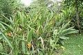 Heliconia psittacorum 33zz.jpg