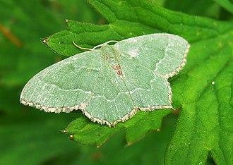 Common emerald - Image: Hemithea aestivaria 2008 07 08