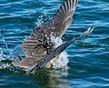 Heron 7 (7378061110).jpg