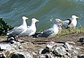 Herring Gulls (Larus argentatus) - geograph.org.uk - 1946319.jpg