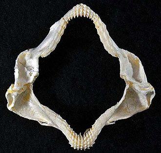 Mexican hornshark - Jaws