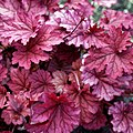 Heuchera 'Berry Smoothie' at RHS Garden Hyde Hall, Essex, England 01 (cropped).jpg