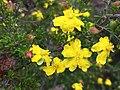 Hibbertia ericifolia.jpg
