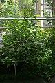 Hibiscus rockii, Conservatoire botanique national de Brest 02.jpg